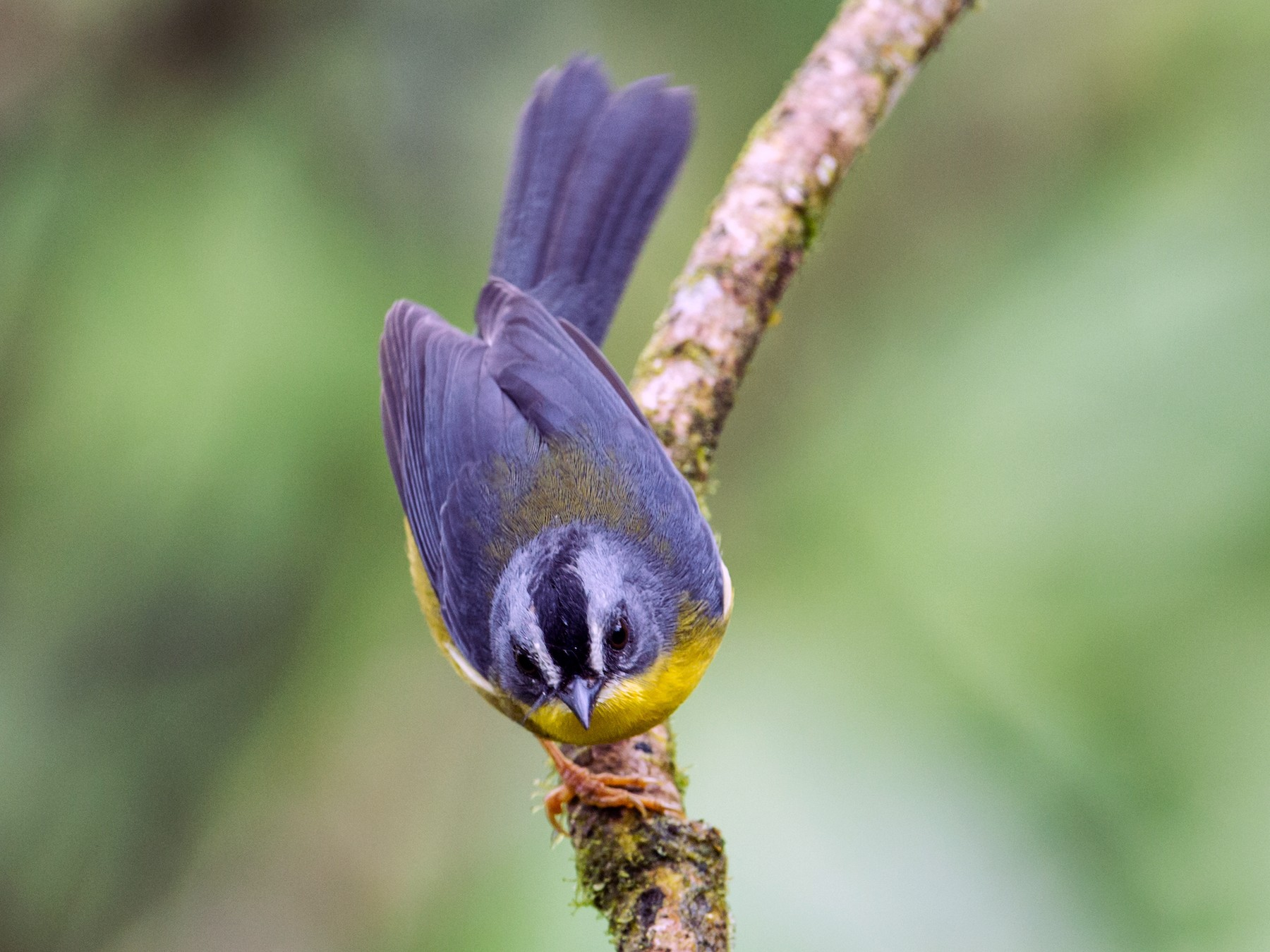 Gray-and-gold Warbler - Nick Athanas