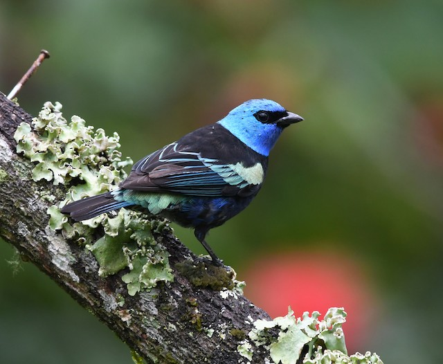 ©Anonymous eBirder - Blue-necked Tanager
