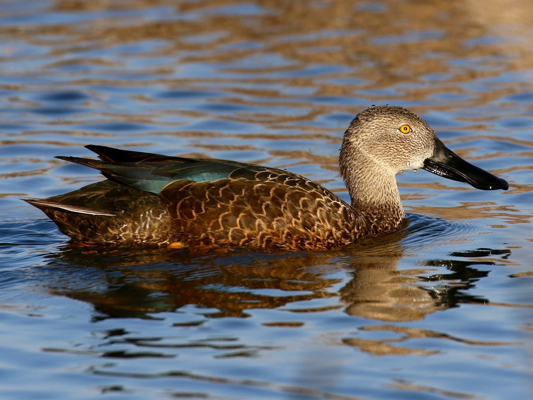 Cape Shoveler - Shannon Fair