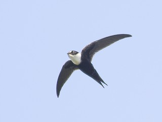 - Lesser Swallow-tailed Swift