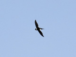 - Great Swallow-tailed Swift