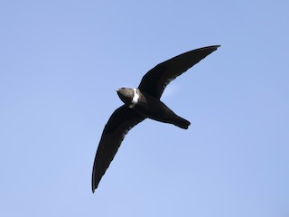 - White-collared Swift