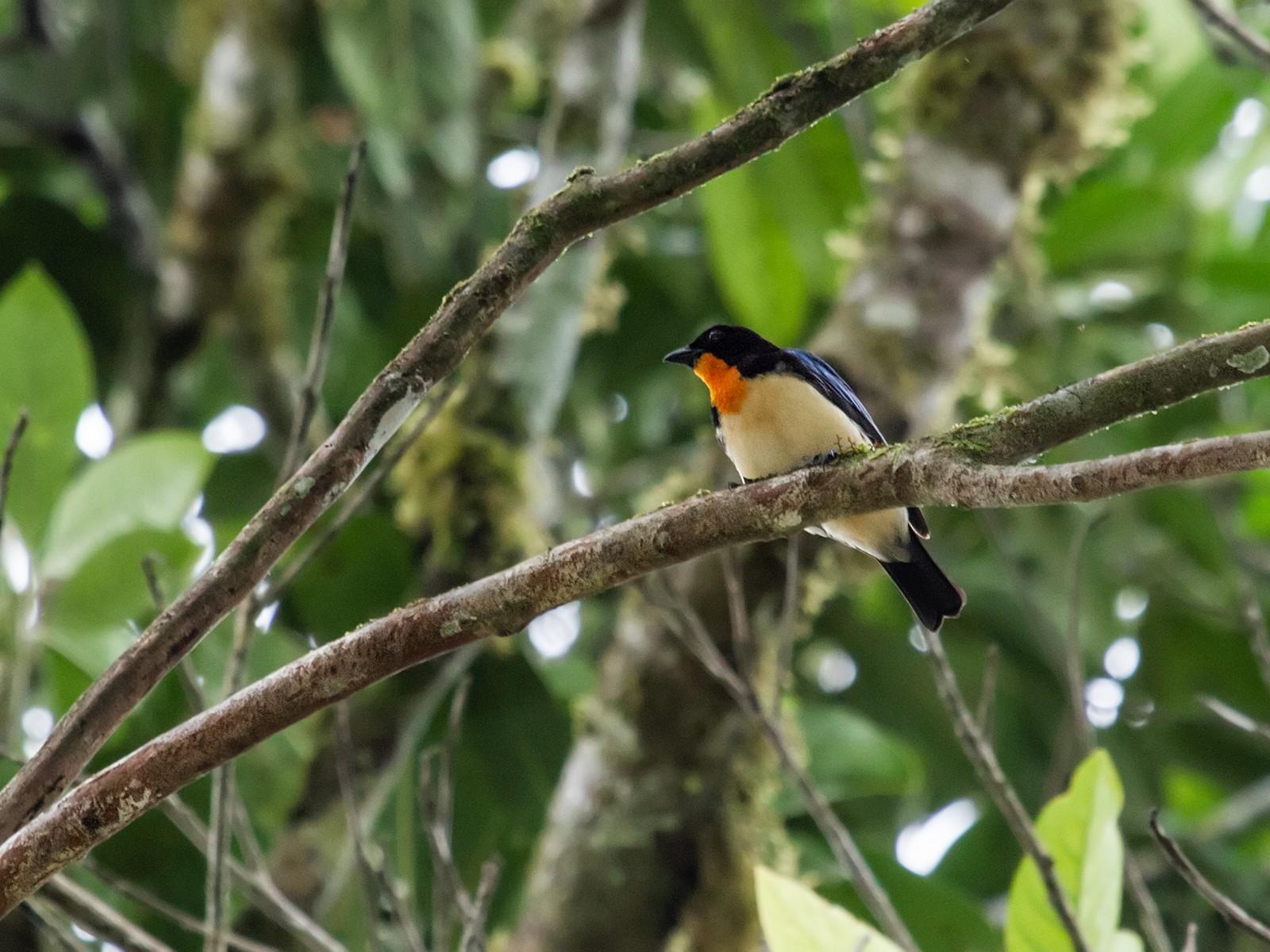 Orange-throated Tanager - Nick Athanas