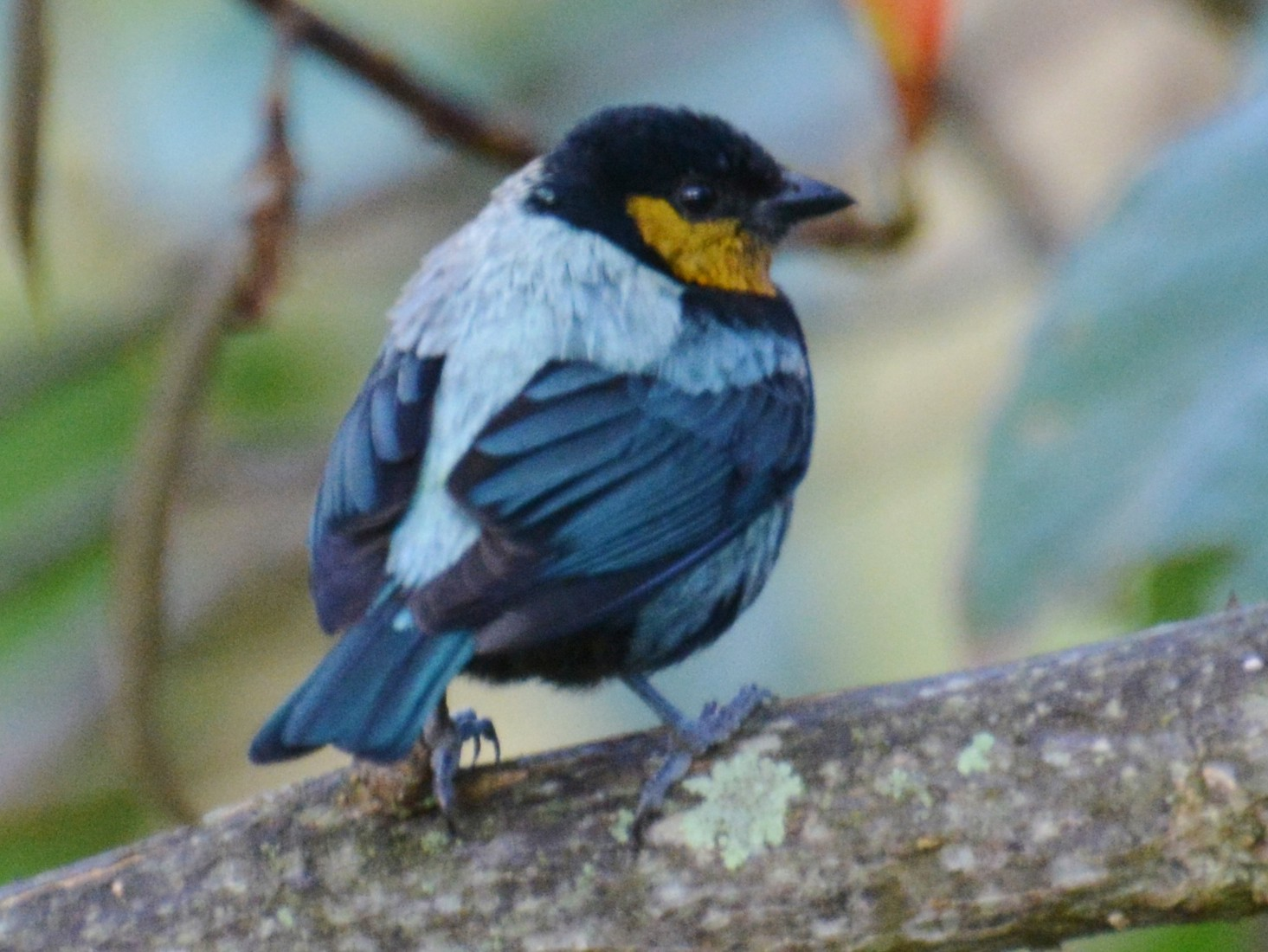 Silvery Tanager - Joan Septembre