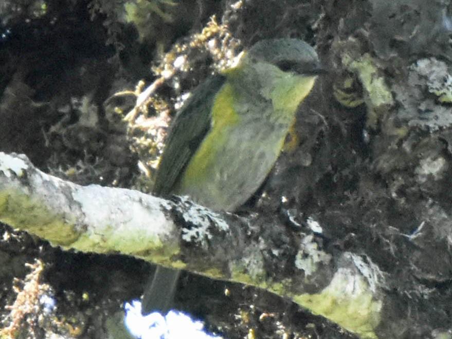 Green-throated Tanager - Tini & Jacob Wijpkema
