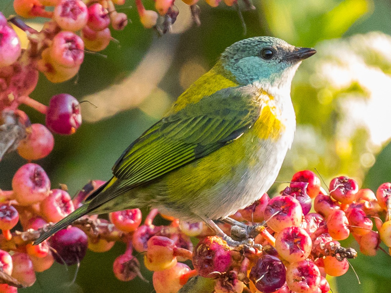 Green-throated Tanager - John Kendall