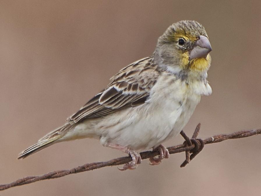 Sulphur-throated Finch - Carlos Ibañez