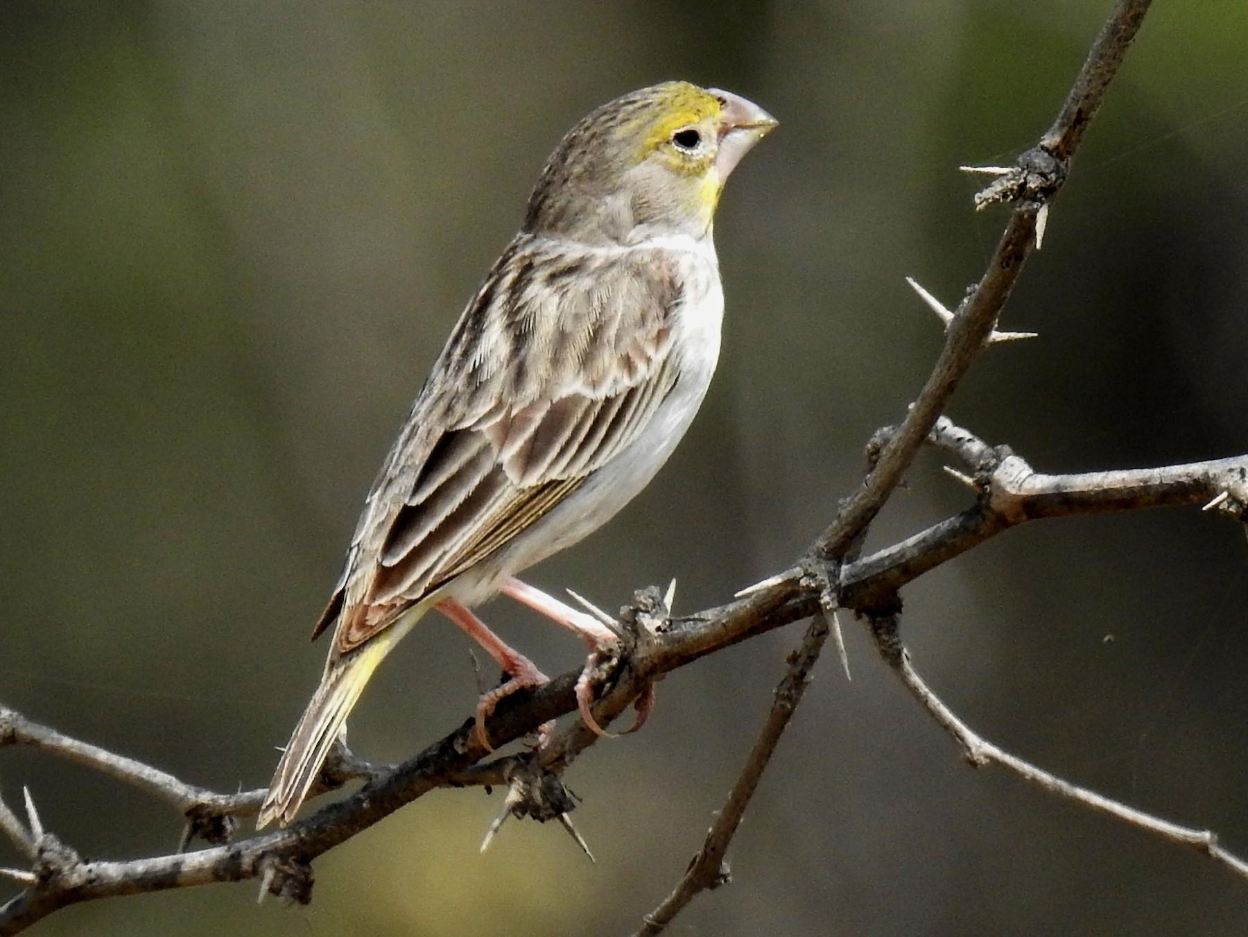 Sulphur-throated Finch - Fernando Angulo - CORBIDI