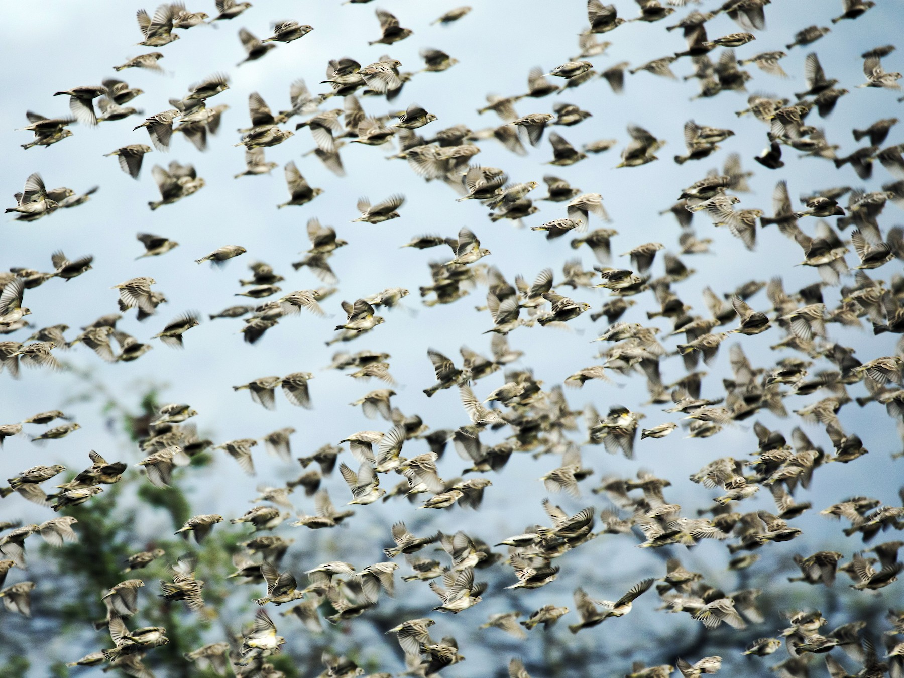 Sulphur-throated Finch - Nick Athanas