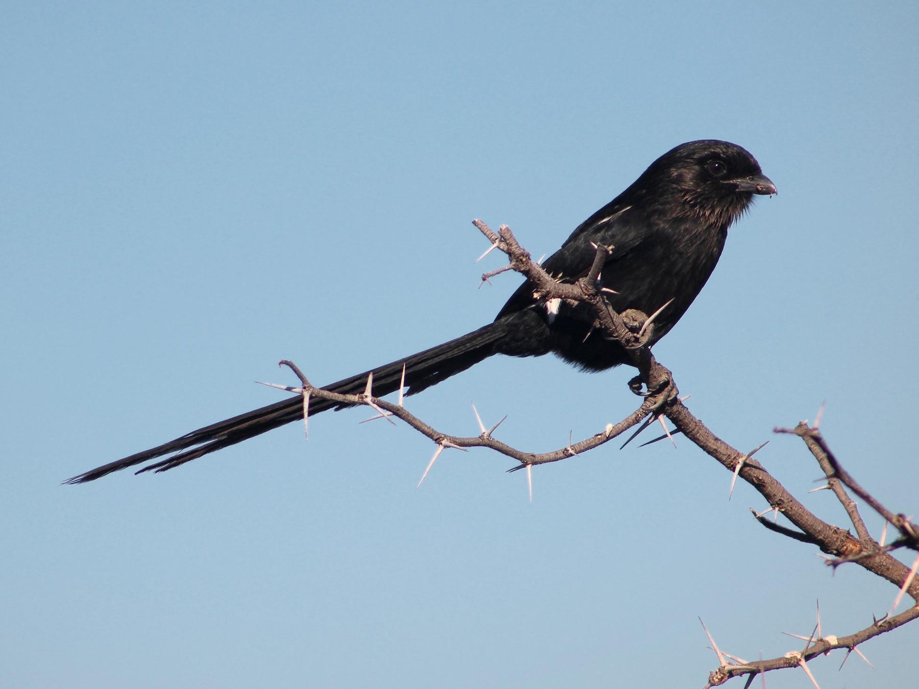 Magpie Shrike - Daniel S.