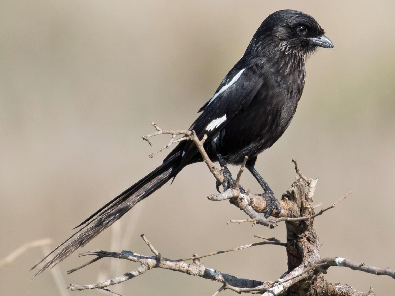 Magpie Shrike - Peter de Hoog