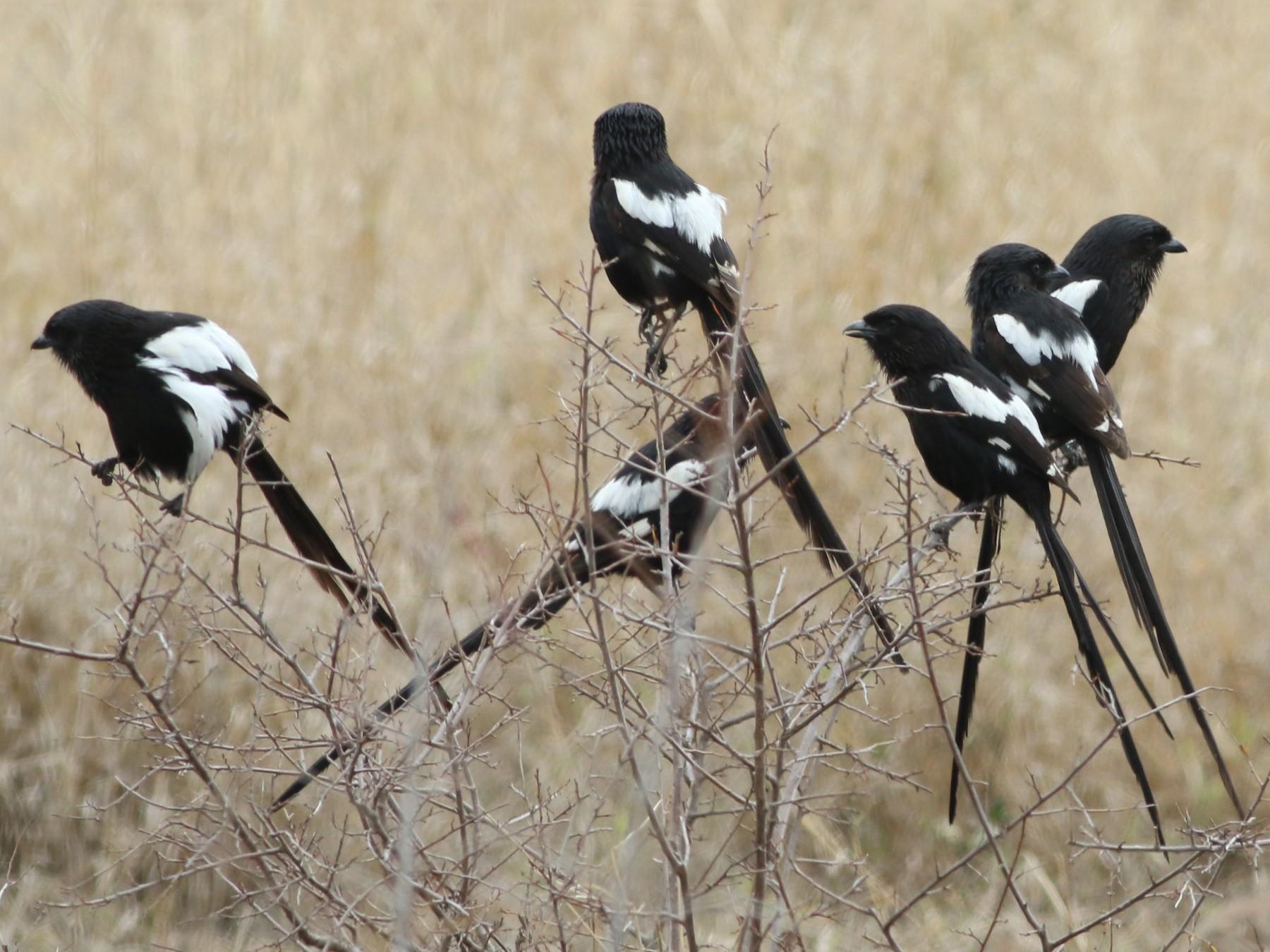 Magpie Shrike - Alexandre Hespanhol Leitão