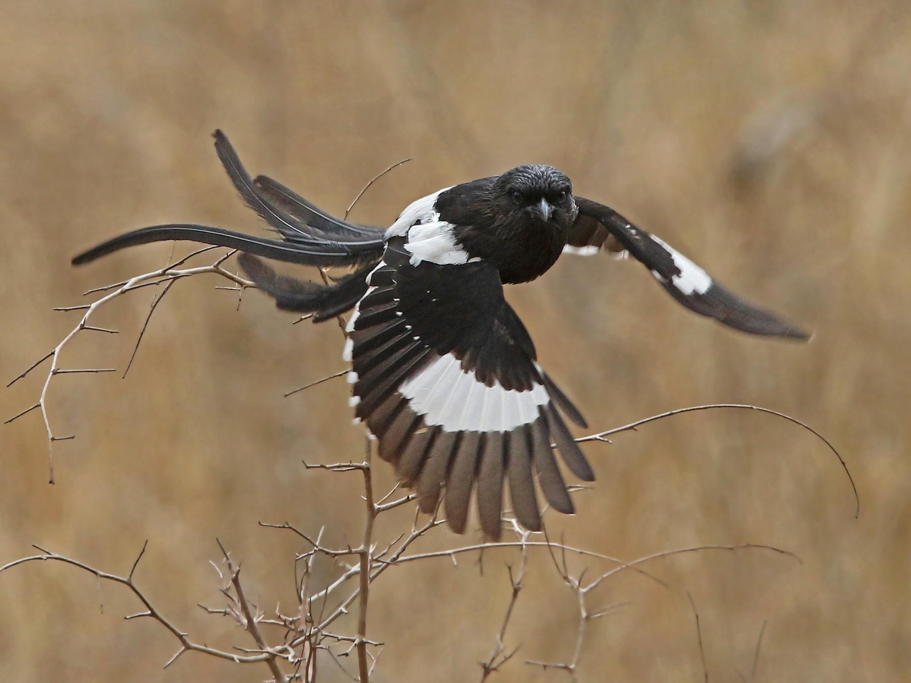 Magpie Shrike - Volker Hesse