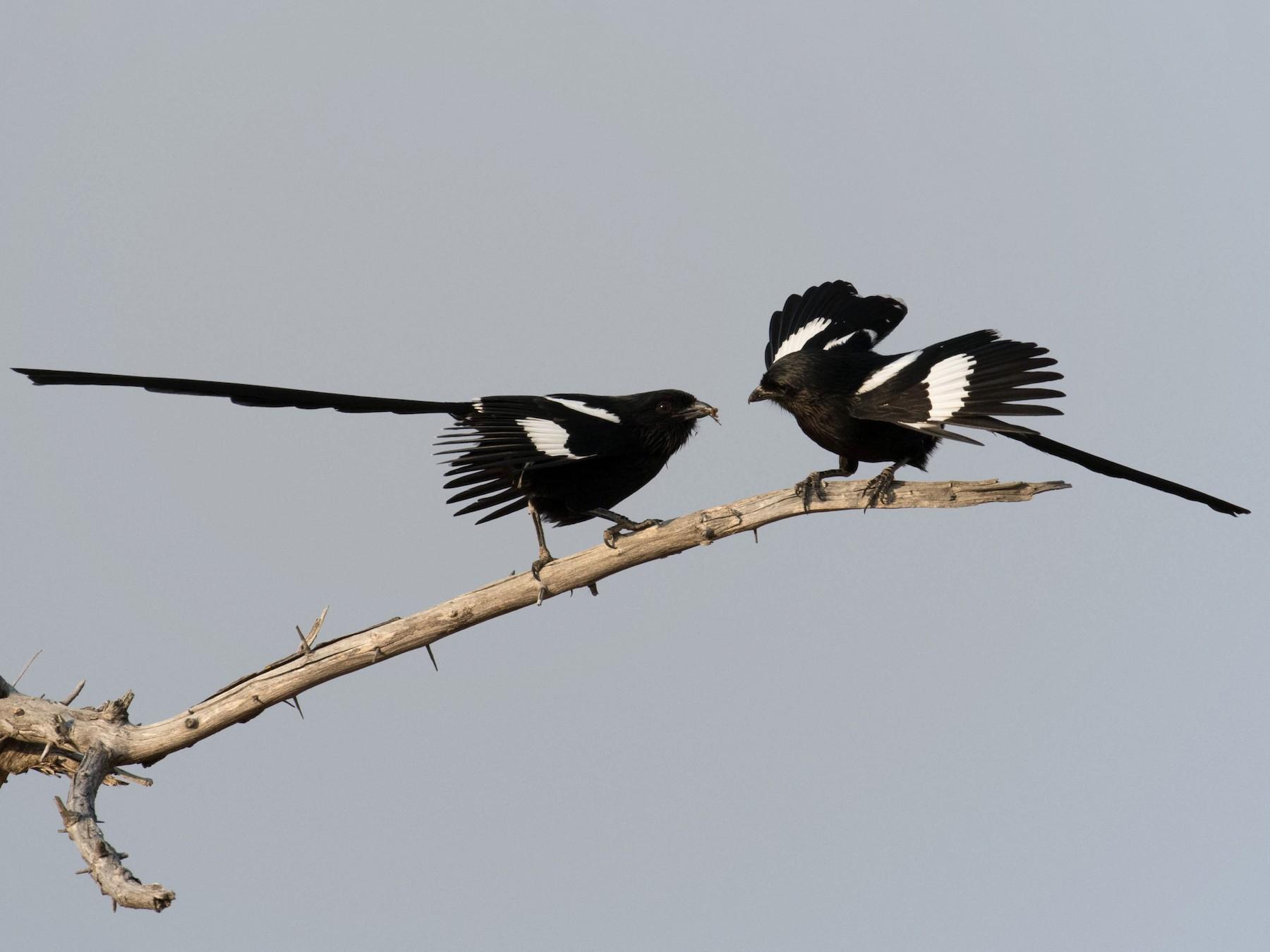Magpie Shrike - Marty Herde