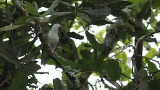 - Gray-green Fruit-Dove