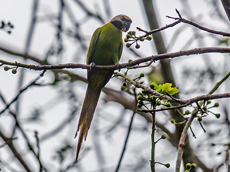 Nicobar Parakeet - Yogish Holla