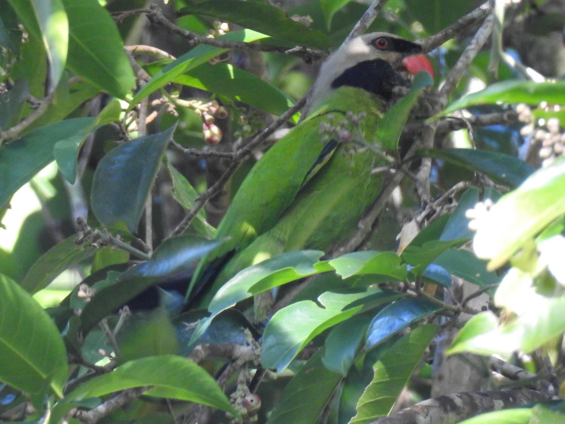 Nicobar Parakeet - Sahana M