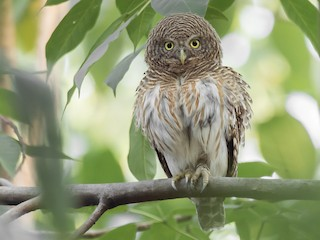 - Asian Barred Owlet