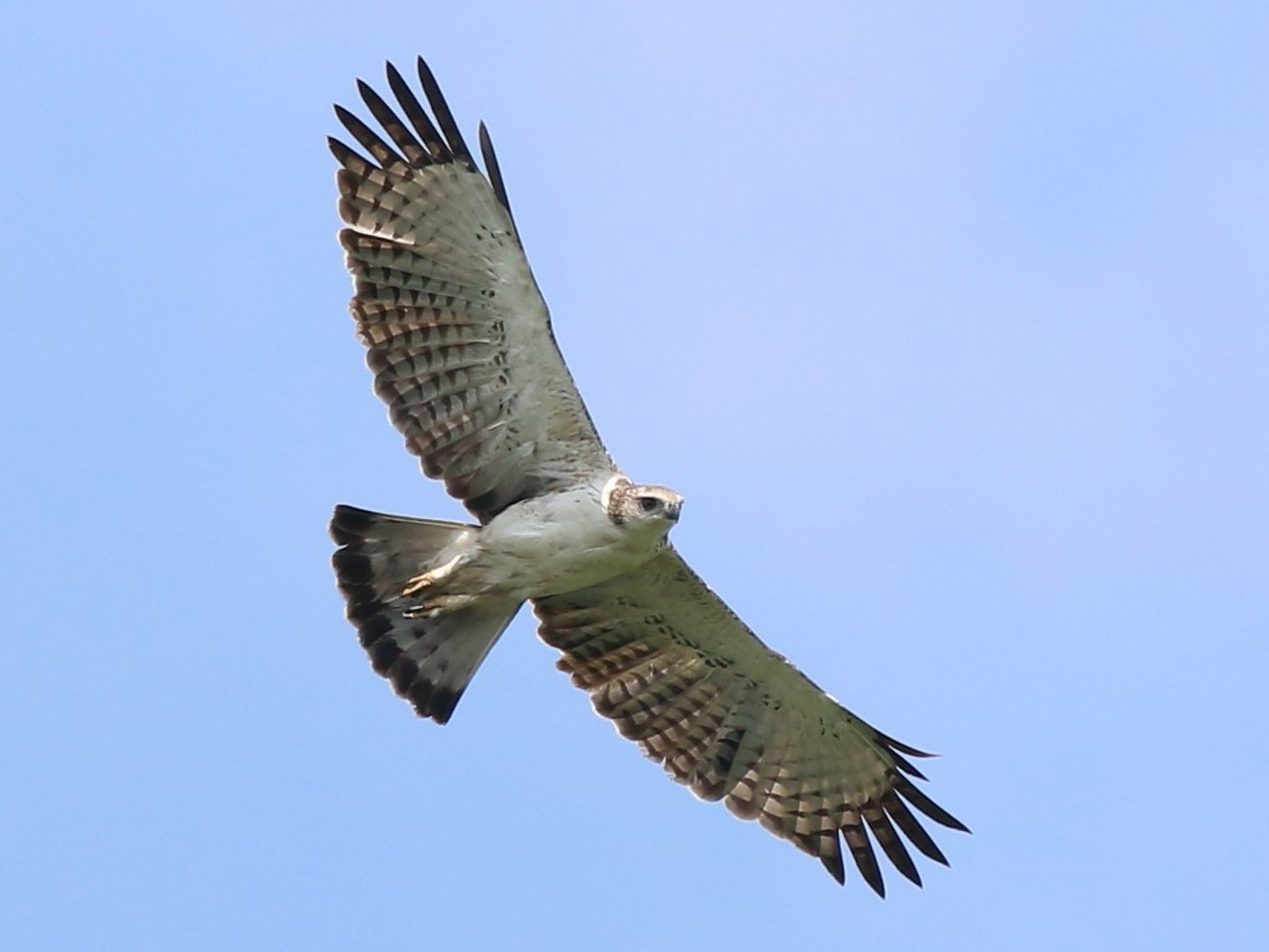 Changeable Hawk-Eagle - Fadzrun A.