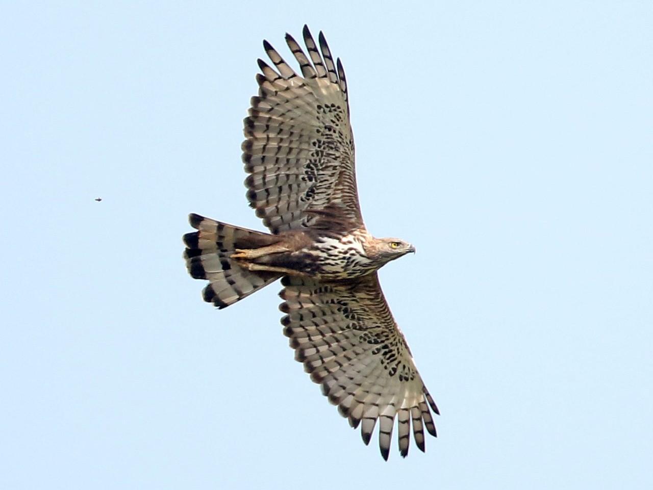 Changeable Hawk-Eagle - Savio Fonseca (www.avocet-peregrine.com)