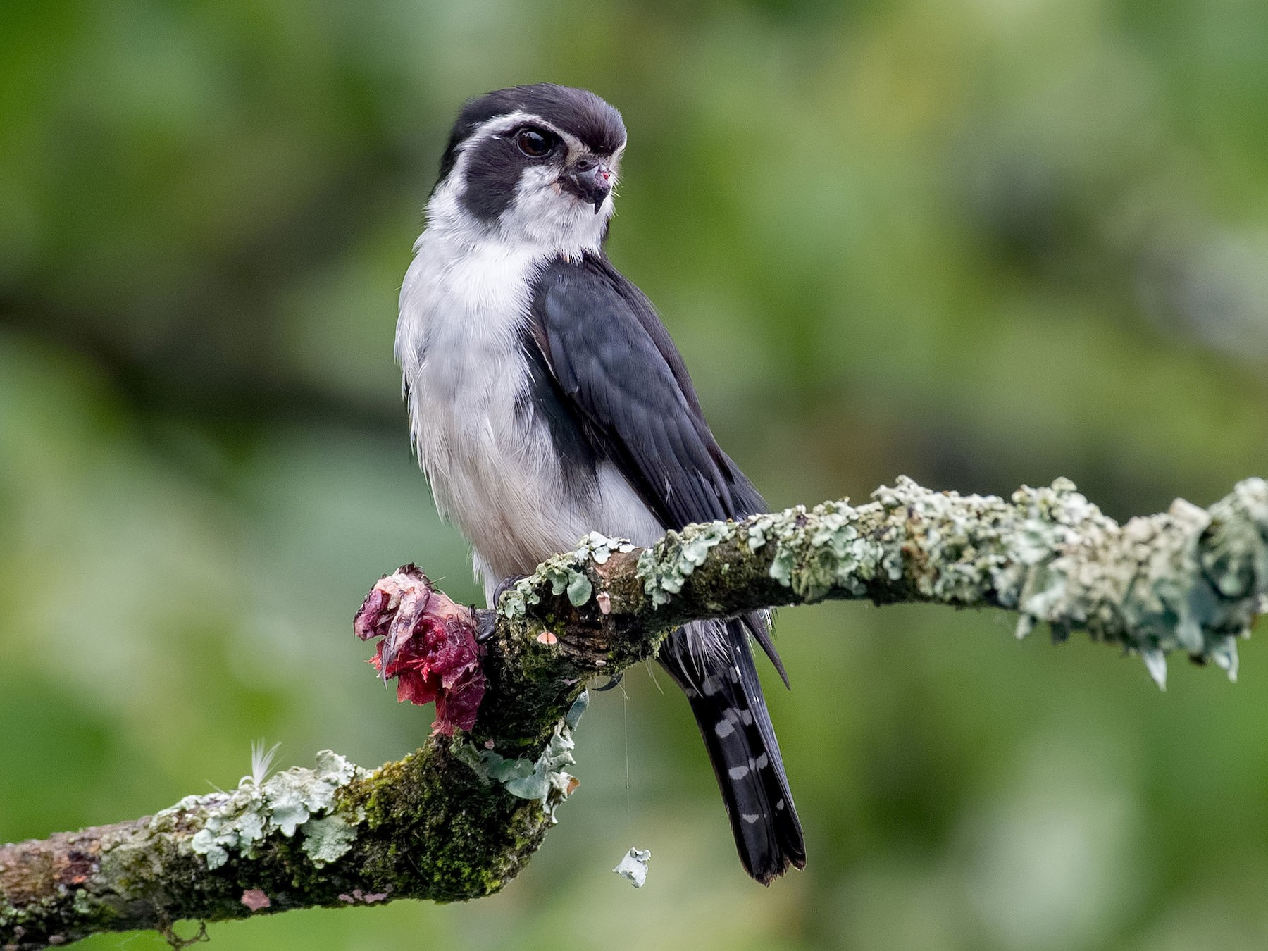 Pied Falconet - Shailesh Pinto