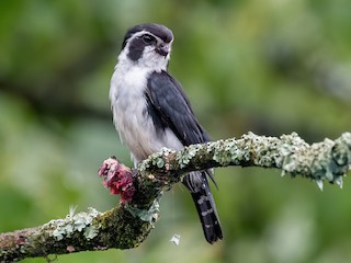 - Pied Falconet