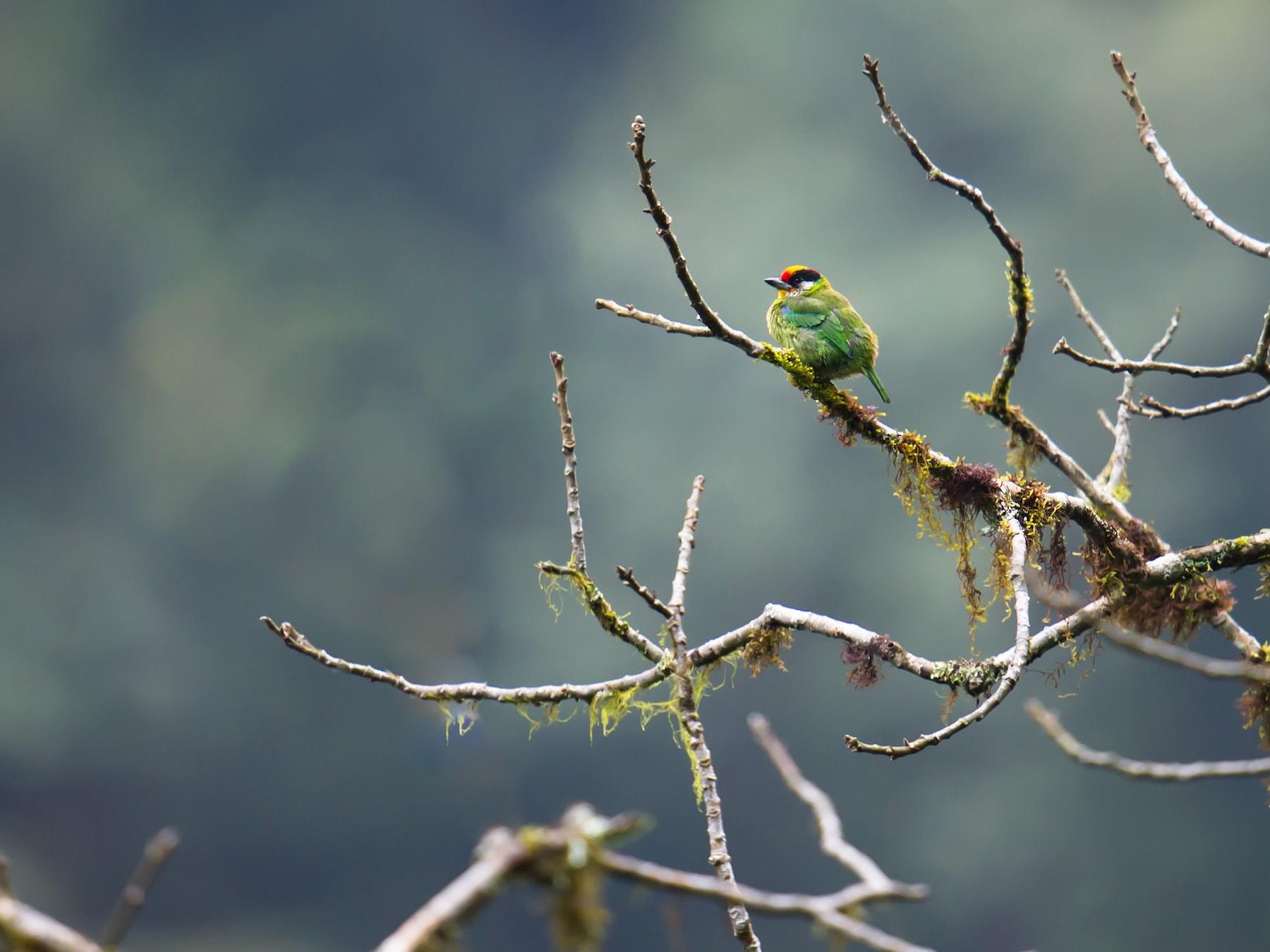 Golden-throated Barbet - Craig Brelsford