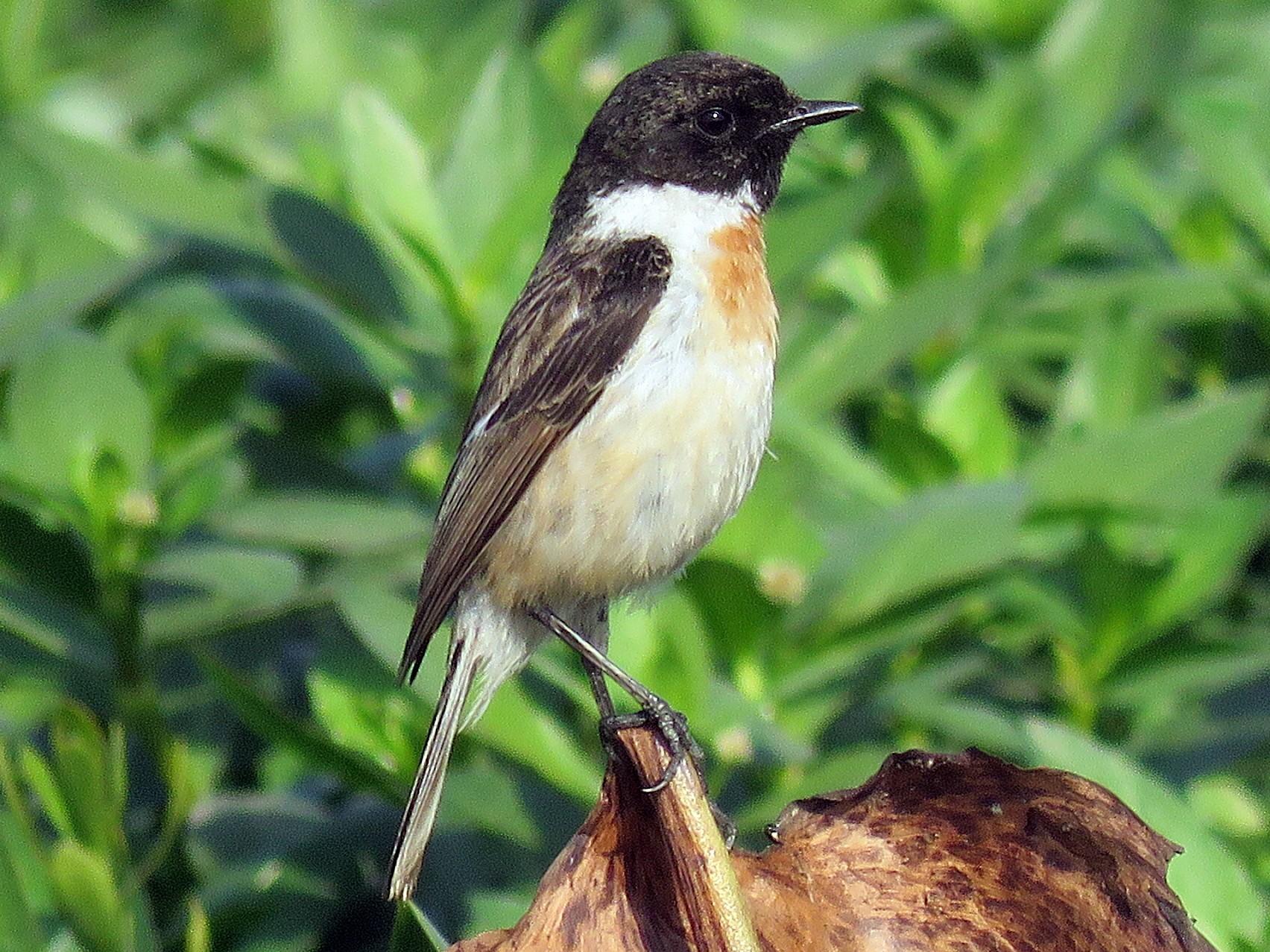 White-tailed Stonechat - Ritvik Singh
