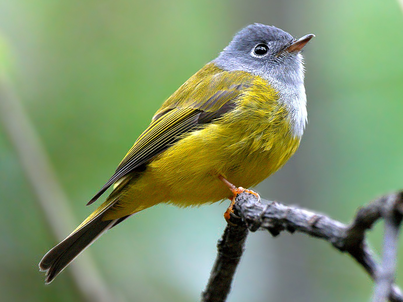 Gray-headed Canary-Flycatcher - Roman Lo