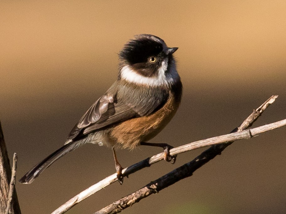 Black-browed Tit - Doug Gochfeld