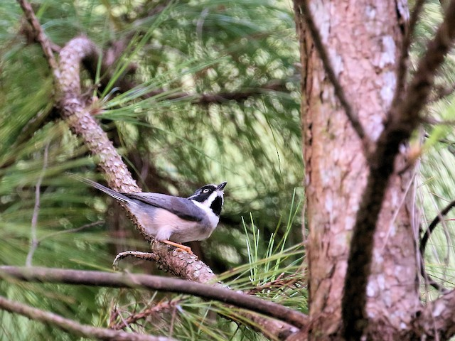 Adult (Gray-crowned)