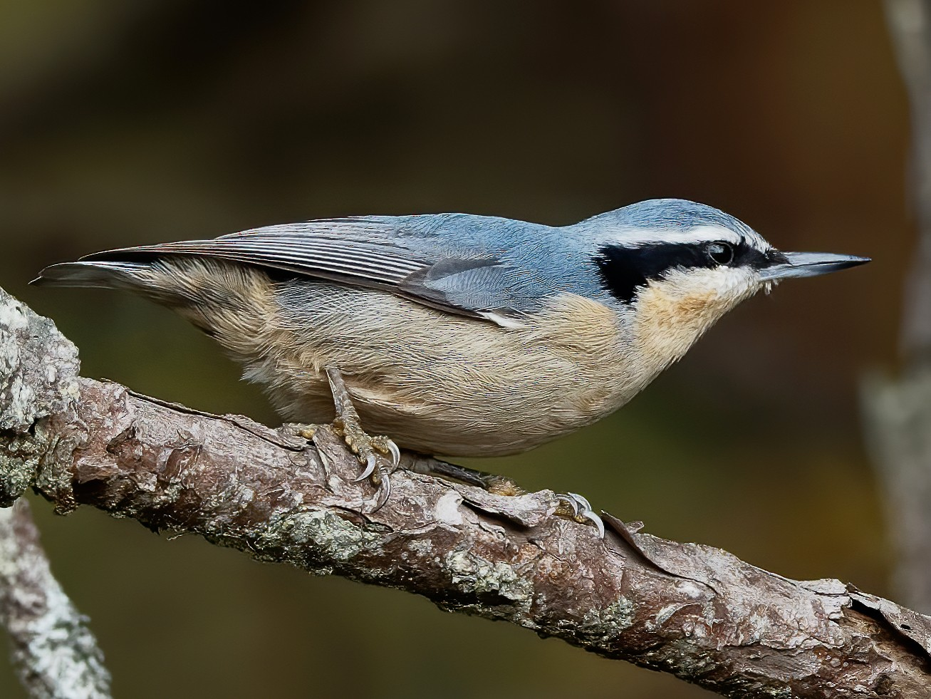 Yunnan Nuthatch - Vincent Wang