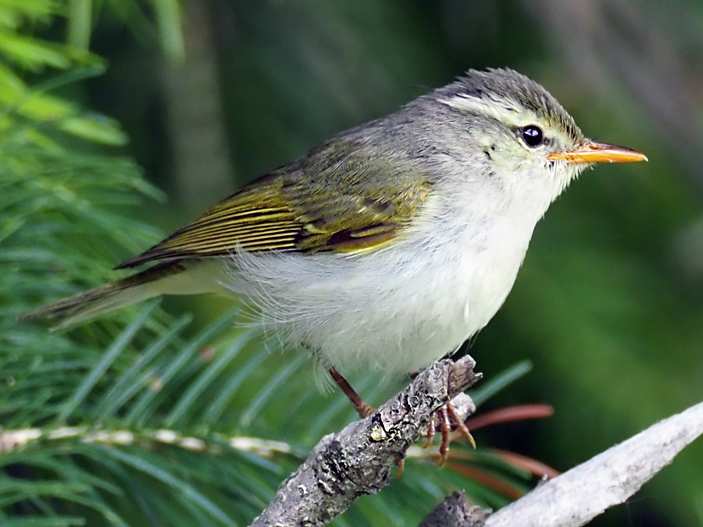 Western Crowned Warbler - Andrew Spencer