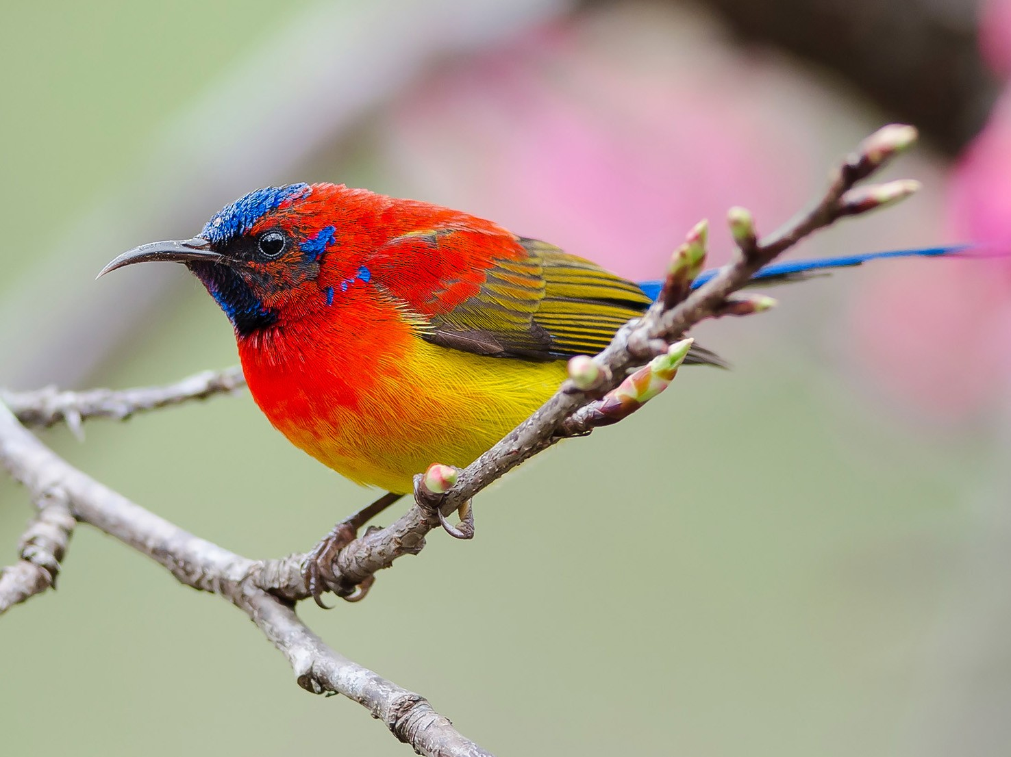 Mrs. Gould's Sunbird - Natthaphat Chotjuckdikul