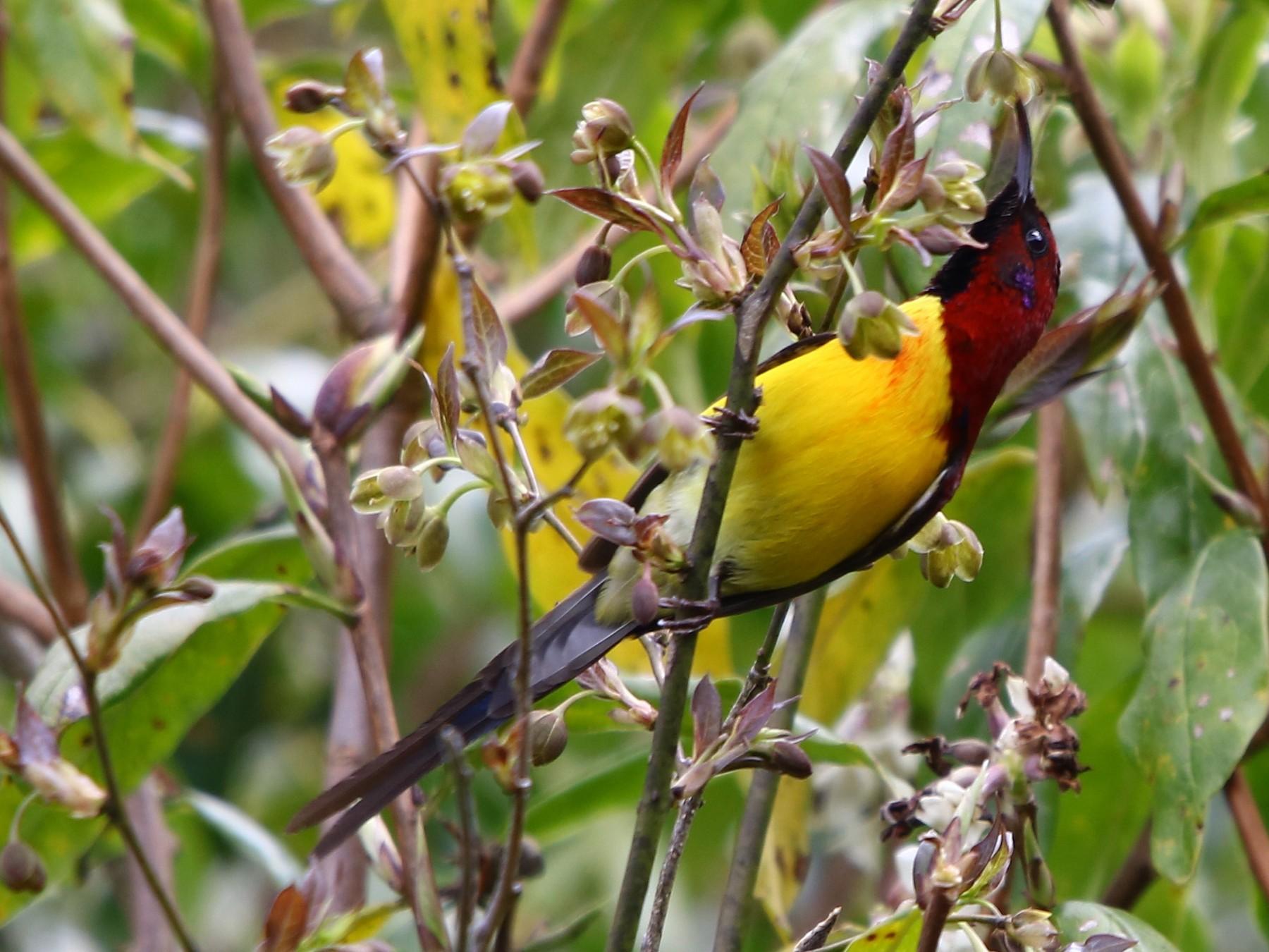 Mrs. Gould's Sunbird - Bhaarat Vyas