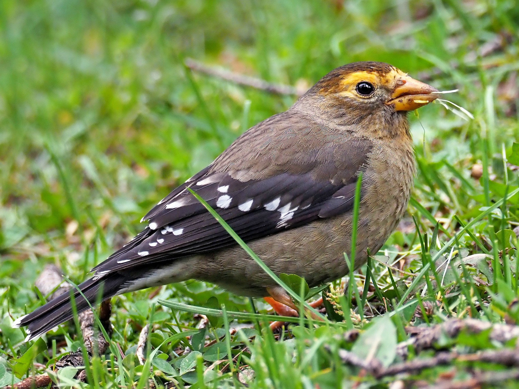 Spectacled Finch - Andrew Spencer