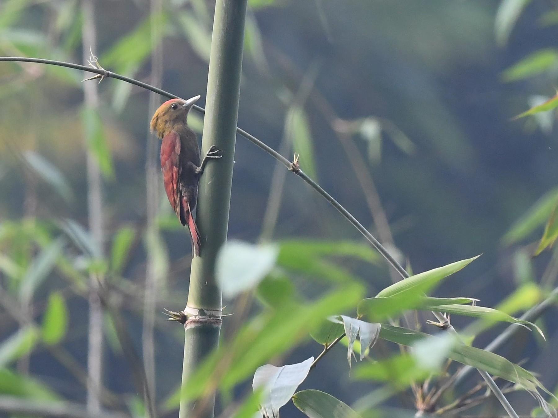 Pale-headed Woodpecker - Sriram Reddy