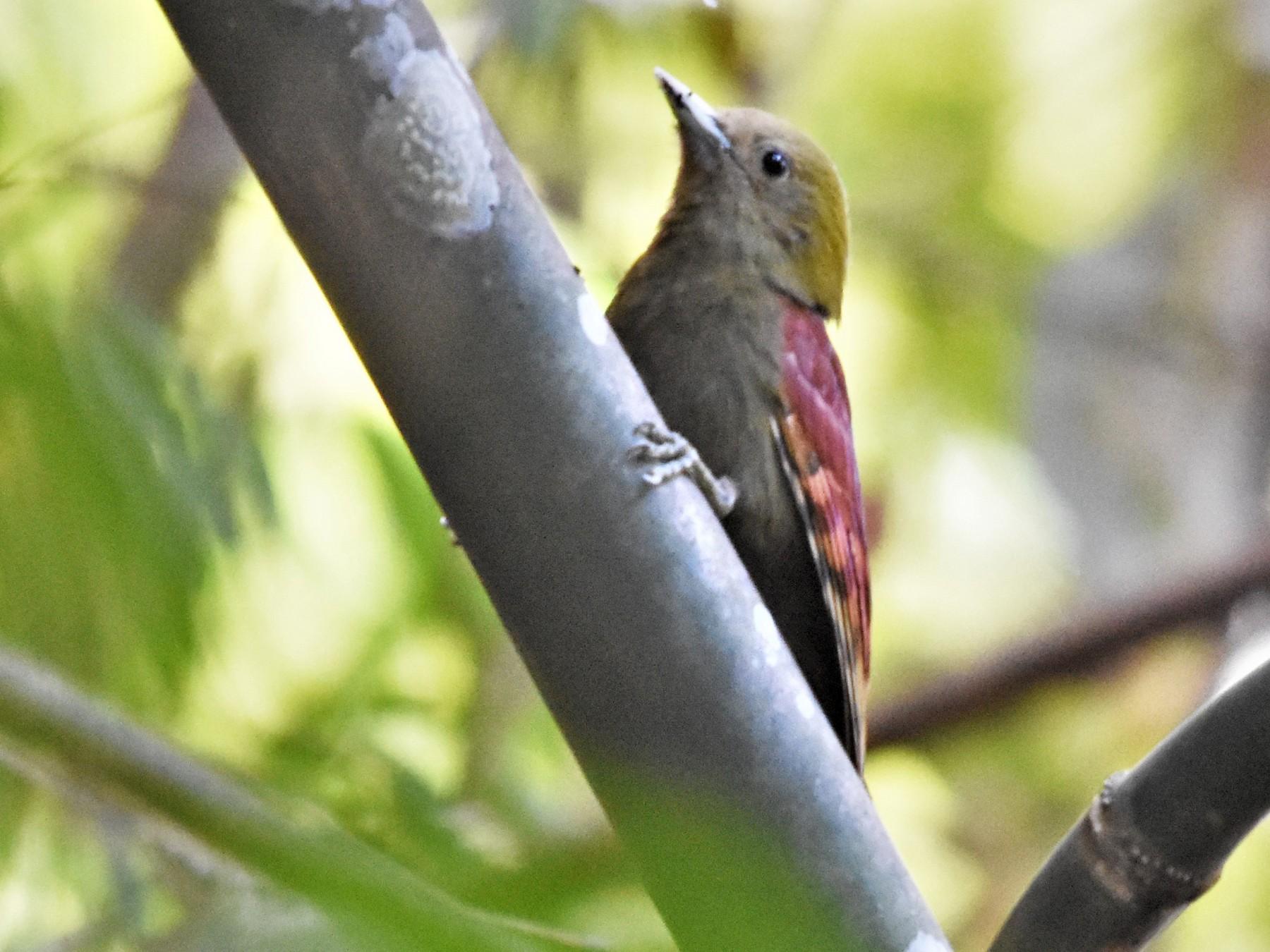 Pale-headed Woodpecker - Steve Bale