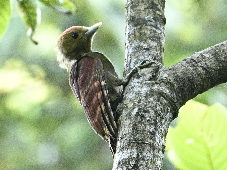 Pale-headed Woodpecker - amitabha mazumder