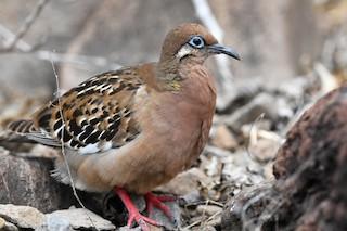 Galapagos Dove, ML207818431