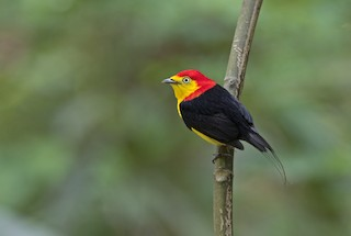 - Wire-tailed Manakin