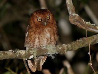 - Santa Marta Screech-Owl