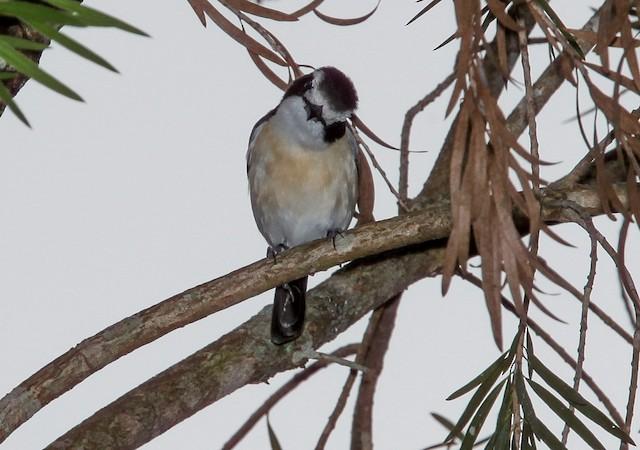 Gray-green Bushshrike