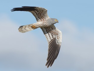 - Montagu's Harrier