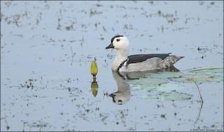 Cotton Pygmy-Goose