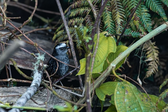 Silvery-fronted Tapaculo