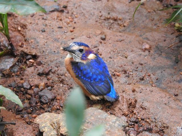 Shining-blue Kingfisher