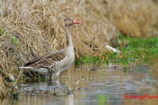 Graylag Goose, ML20806571