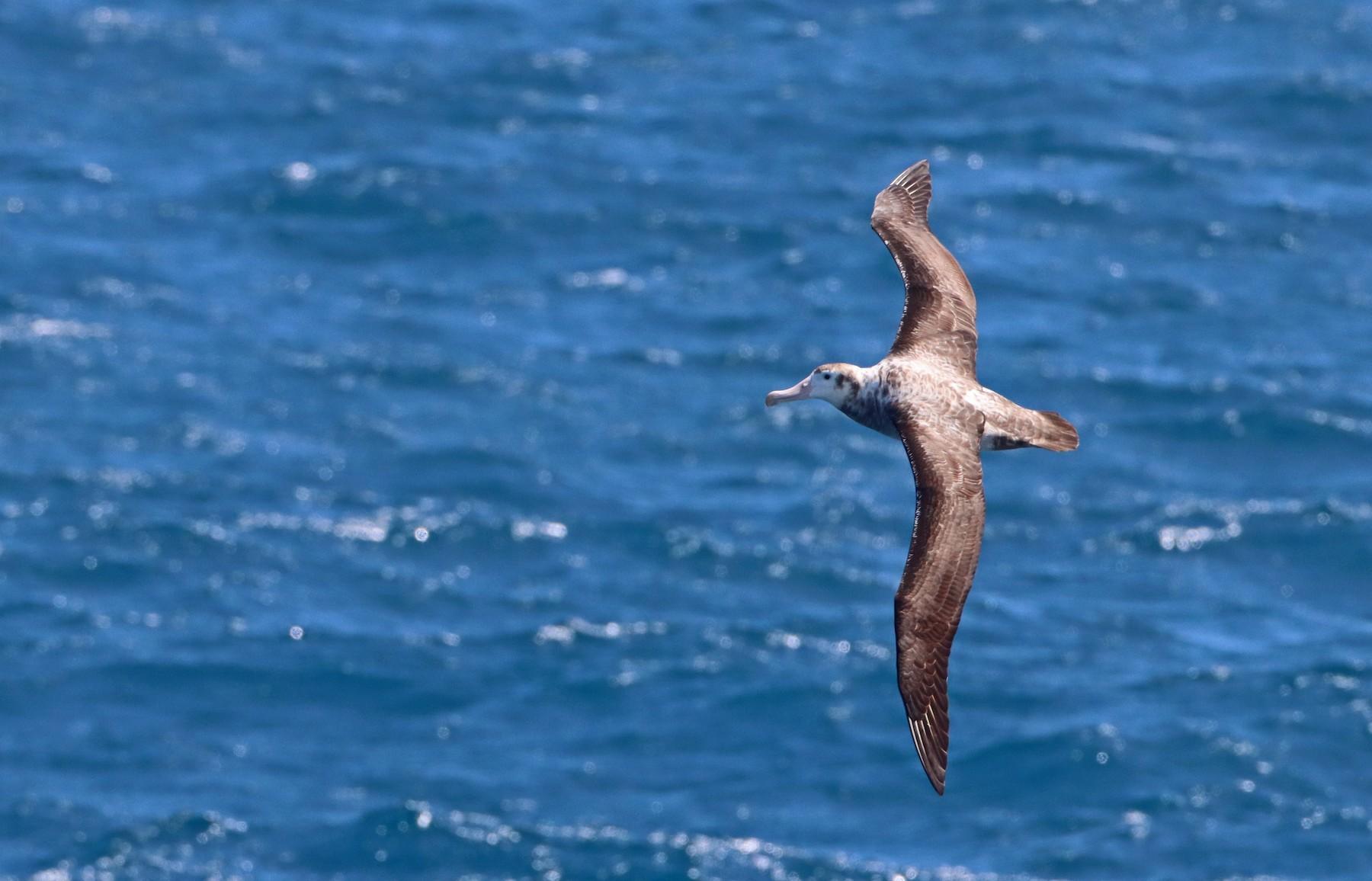 Wandering Albatross (Tristan) - Luke Seitz