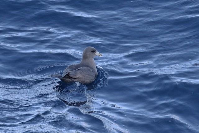 Northern Fulmar (Pacific)